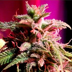 holy smoke strawberry stardawg