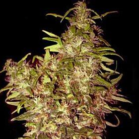 Holy Smoke Seeds  Black Honey Haze Regular