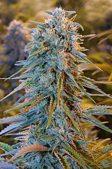 Humboldt Seeds Blue Dream Feminised Seeds