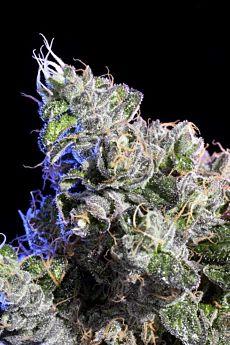 Elemental Seeds - Huckleberry
