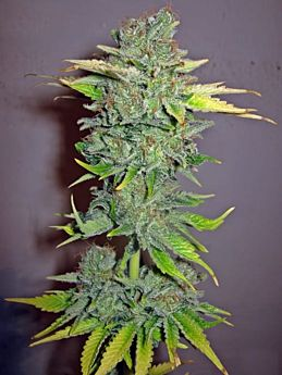 seedsman cheese