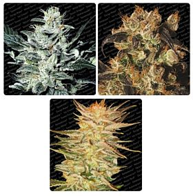 Paradise Seeds Indica Champion Pack