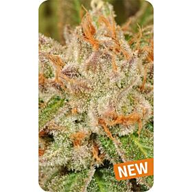 Dispensario Seeds Island Eisbaer Fem