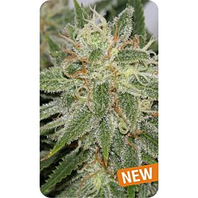 Dispensario Seeds Island Grapefruit Punch Fem