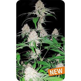 Dispensario Seeds Island Mango Kush Fem