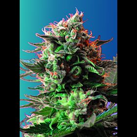 Sweet Seeds Jack 47 Fem