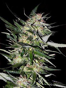 Advanced Seeds Jack Plant Feminised