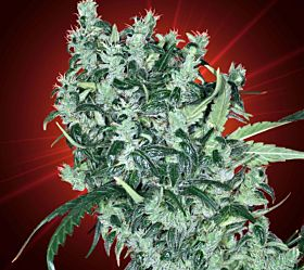 Big Buddha Seedbank - Cheese AUTO Feminised Seeds