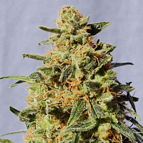 Kannabia White Domina Feminised Seeds