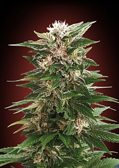 Advanced Seeds Kaya 47 Feminized