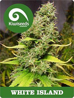 kiwi seeds white island
