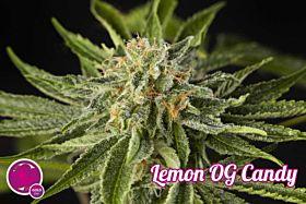 philosopher lemon og candy