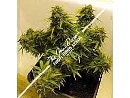 Joint Doctor - Lowryder Seeds Lowryder Mix Autoflowering Regular Seeds