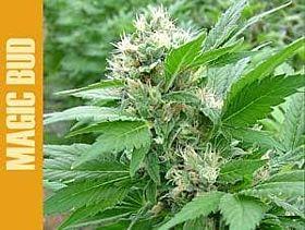 Paradise Seeds Magic Bud Feminised Seeds