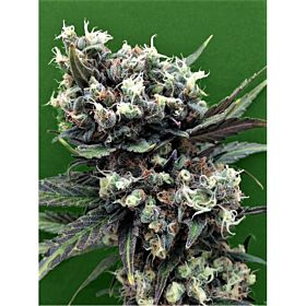 Breaking Buds Seeds Malverde Fem