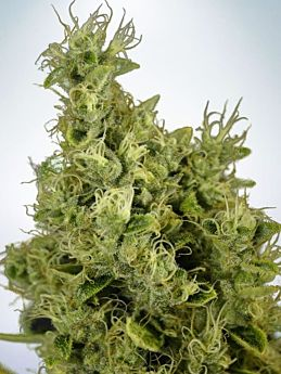ministry of cannabis Mandarin Haze