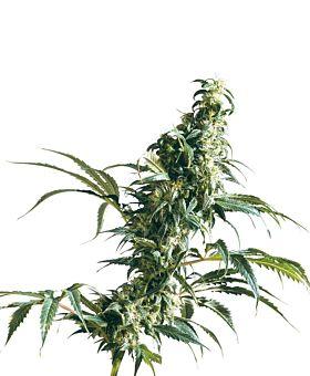 Sensi Seeds - Mexican Sativa Regular