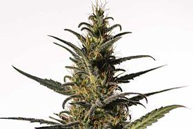 Medical Marijuana Genetics Candida (CD-1)