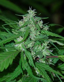 CannaBioGen Nepal Highland Regular Seeds