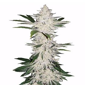 Next Generation Dynamite Edelweiss Regular Seeds