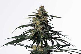 Medical Marijuana Genetics Nightingale (NN-1)