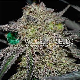 World of Seeds Tonic Ryder CBD Auto Fem