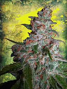 ministry of cannabis northern lights