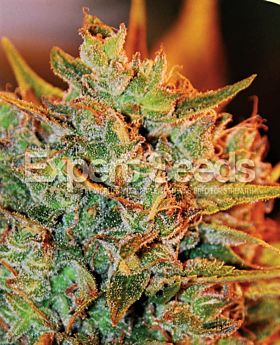 Expert Seeds Northern Lights X Big Bud Auto Fem