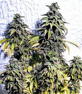 Holy Smoke Seeds OG Upsetter Reg
