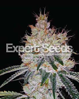 Expert Seeds OGesus Auto Fem