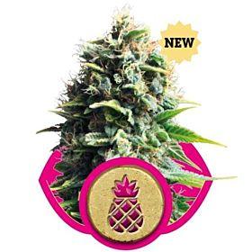 royal queen pineapple kush