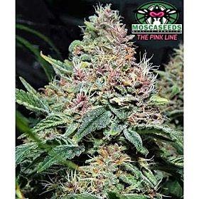 Mosca Seeds Pink Gorilla Reg