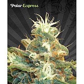 Auto Seeds Polar Express Auto Fem