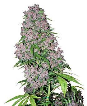 white label purple bud