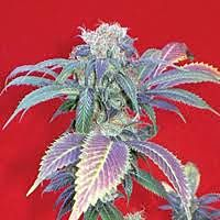 Positronics Seeds Purple Haze # 1 Feminised Seeds