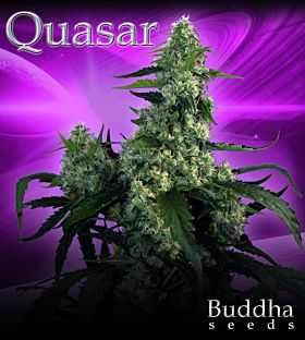 Buddha Seeds Quasar Feminised