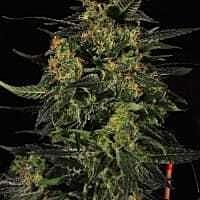reeferman hash plant