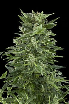 Royal Queen Seeds Royal Automatic Feminised Seeds