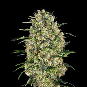 Sagarmatha Seeds Black Domina Auto Feminized Seeds