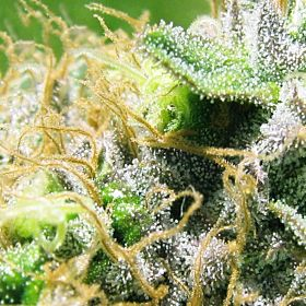 Sagarmatha Seeds NY Diesel Feminized Seeds