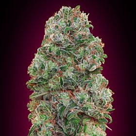 Seedsman Bubble G Feminized Seeds