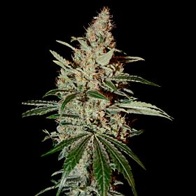 Seedsman Chem Dawg Feminized Seeds