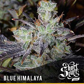 short stuff blue himalaya