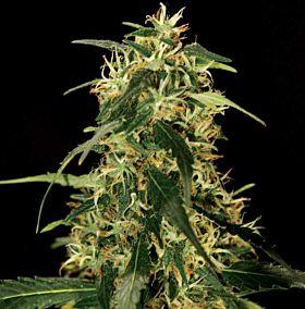 Bulldog Seeds - SilverStar Haze Feminized