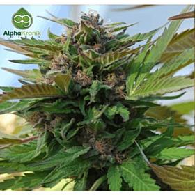 Alphakronik Genes Seedbank Sin City Kush Regular Plant