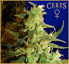 Ceres Seeds Skunk Haze Feminised Seeds