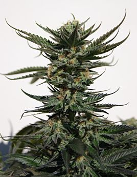 Seedsman Seedbank Original Afghani #1 Regular