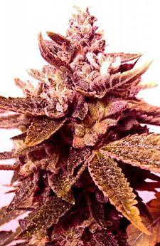 holy smoke sour blackberry diesel