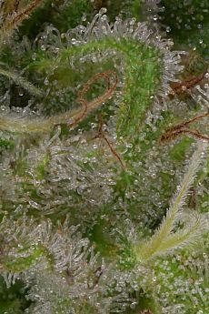 Big Head Seeds Sour Diesel Feminized Seeds