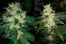 Resin Seeds Sour P Feminised Seeds